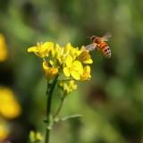 Bee Flying near Golden Flower