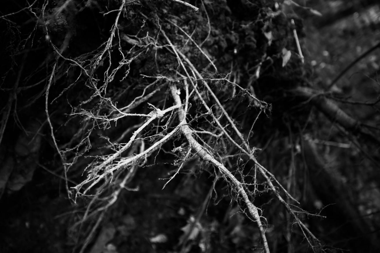 Overturned Tree Roots